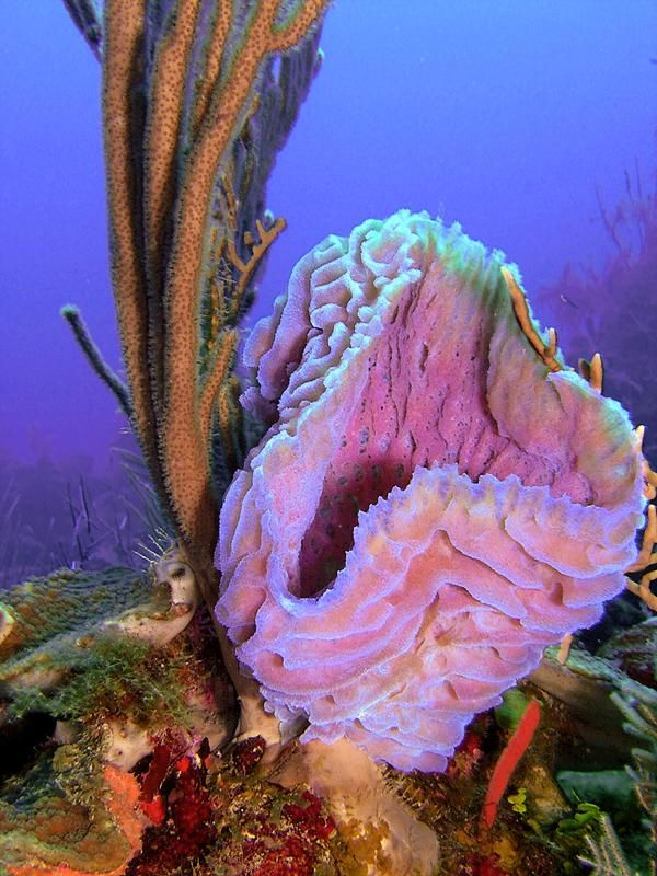 Azure Vase Sponge They Are Vase Shaped And Grow On Coral Reef Walls