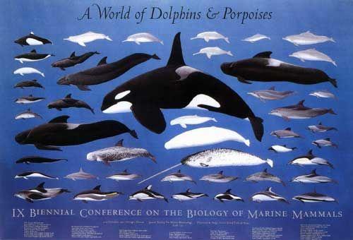 Cetacea | Klicken Sie auf das Bild, um zum Index zurückzugelangen