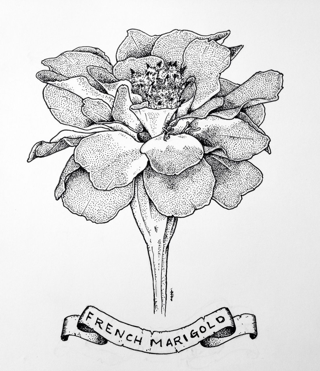 Marigold Flower Line Drawing : Marigold flower tattoo drawing imgkid the