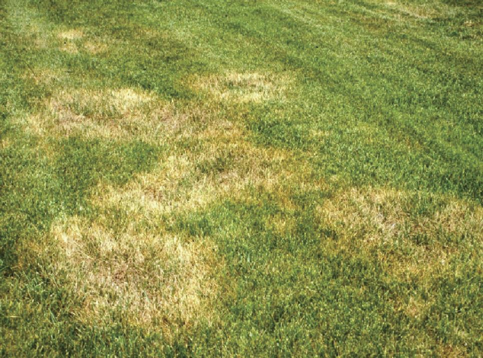 No It Isn T An Alien Landing Zone It S Brown Patch Common In Lawns During The Summer Months With Images Lawn Treatment Lawn Care St Augustine Grass