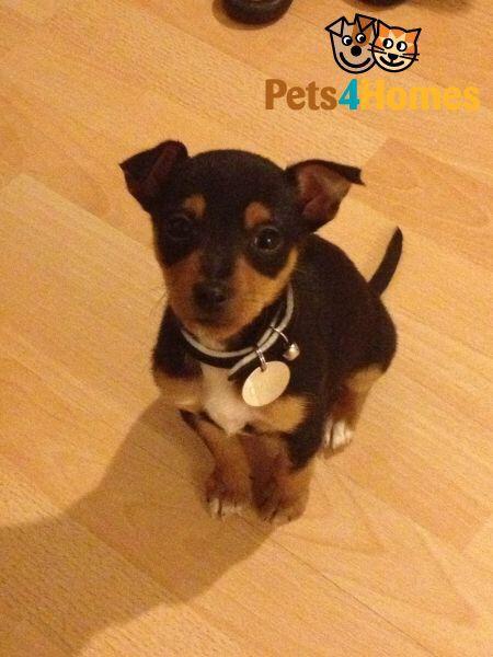 Jackawawa Dog Breeds Cute Puppies Dogs
