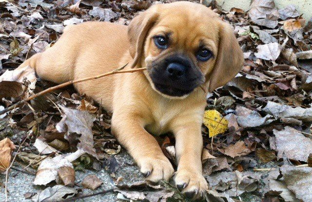 Cute Puggle Puppy With Images Puggle Puppies Cute Cats And