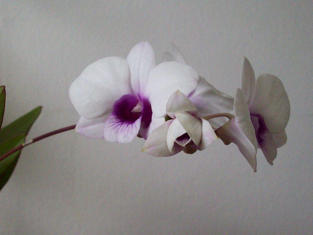 Dendrobium Bigibbum Varieties Dendrobium Bigibbum Compactum Hybrid