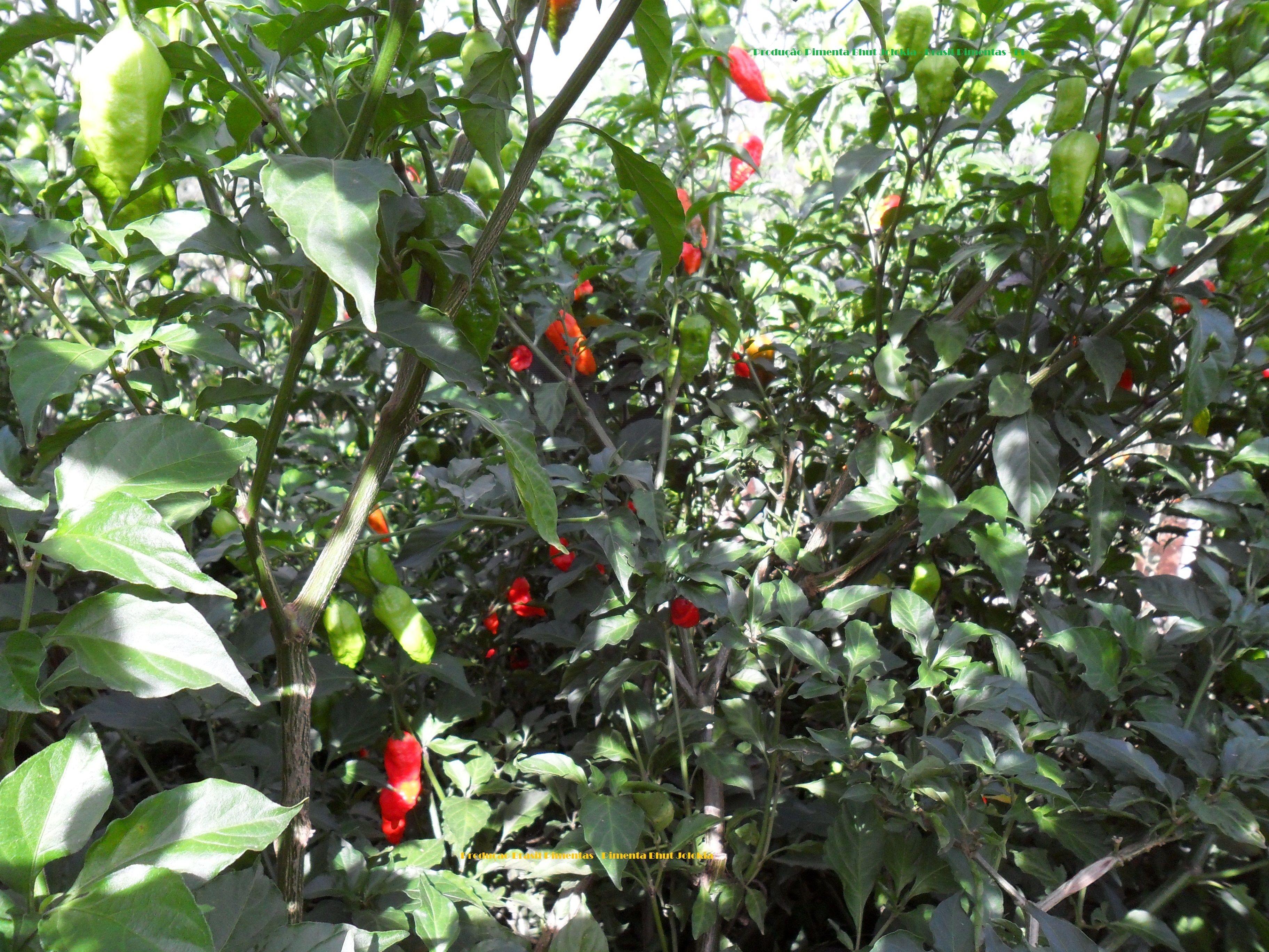 Bhut Jolokia Pepper Plant Brasil Pimentas Production Pimentas