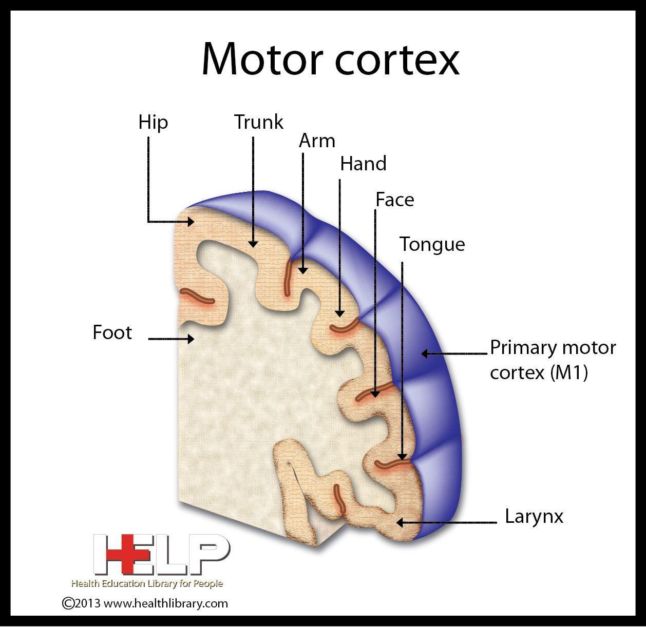 Motor Cortex | Nervous System | Pinterest