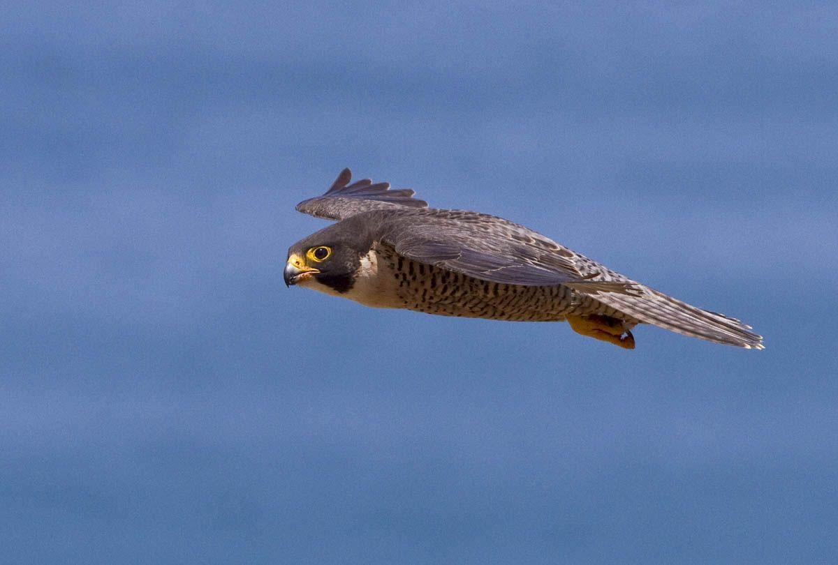 Peregrine Falcon Flight : Birds of Prey, Baja Birds