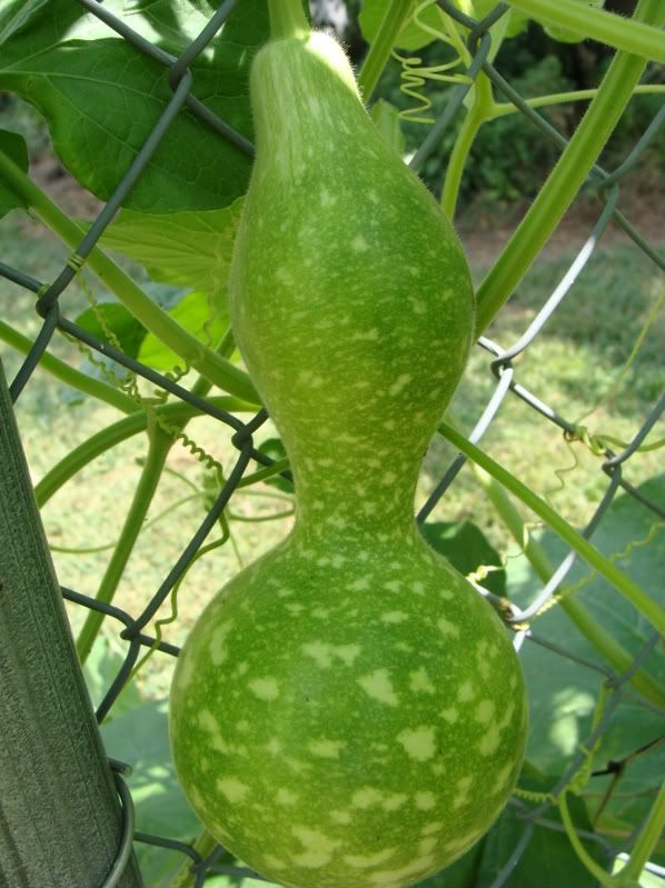 Pictures Of Different Types Of Gourds What Kind Of Gourd