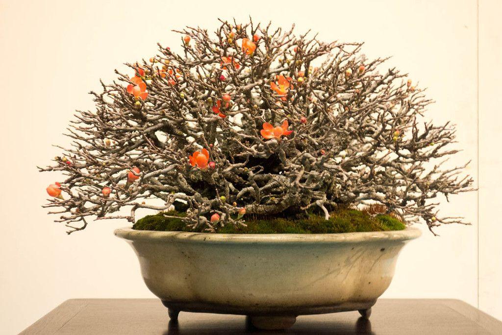 100 Bonsai Chojubai Ideas Bonsai Ikebana Kokedama