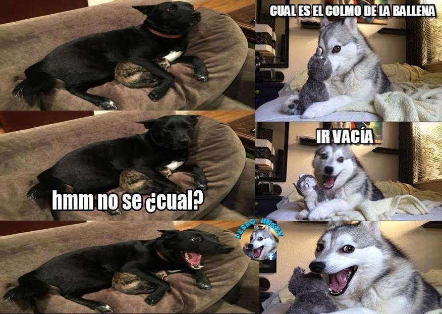 Husky Frases: Chistes, Humor De Perros Y