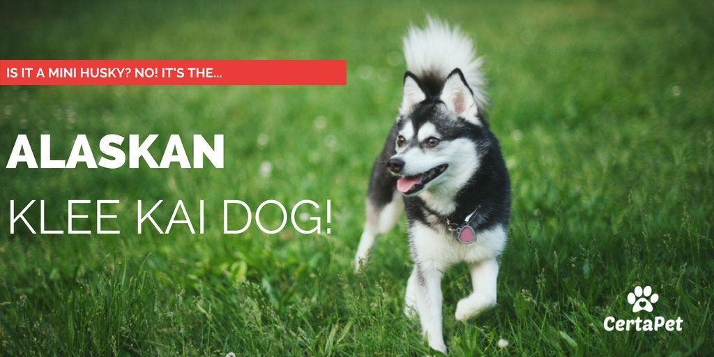 Is It a Mini Husky? No! It's an Alaskan Klee Kai Dog! #miniaturehusky