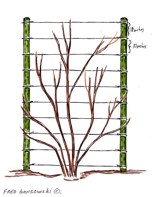 777c6323065c6dea590cbe13b066426c - How To Get A Vine To Grow Up A Wall