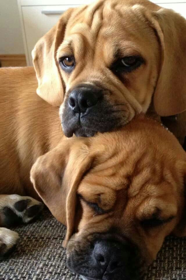 The Puggle Bond Cute Dogs Images Cute Small Dogs Puggle Dogs