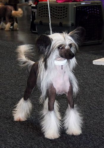 Be My Dogs Chinese Crested Dogs Zucht In Satrup Schleswig