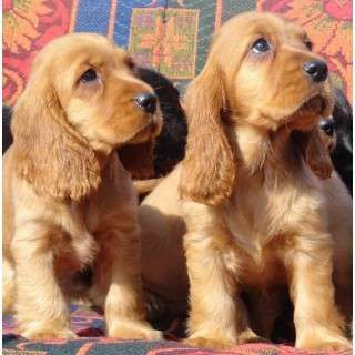 Pure Bred Gold Cocker Spaniels Ready Now Cocker Spaniel Puppies Dogs Cocker Spaniel