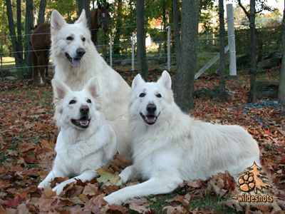 One day I'll have a white shiloh shepherd. | Rare dog breeds