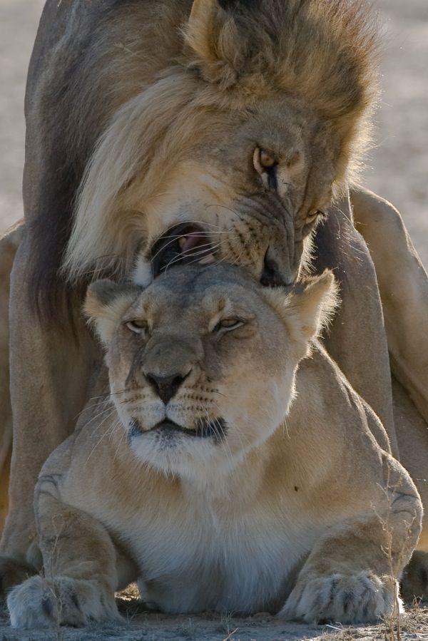 ~~Lions ~ Kalahari, South Africa by Nicolas Devos~~