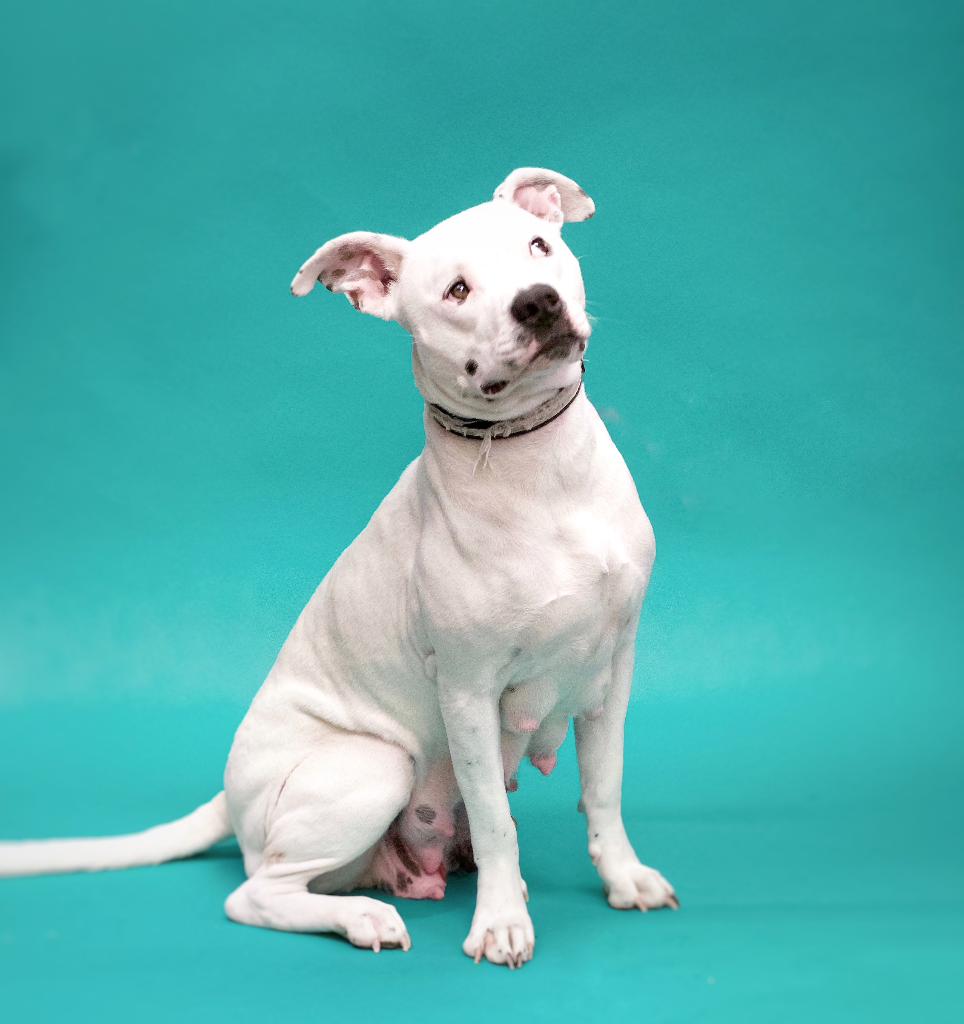 Pitbull Puppies For Adoption In Indiana 2021