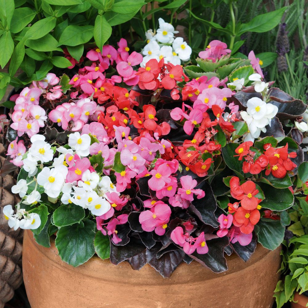 Plants for flower beds - Begonia Organdy Mixed F1 Hybrid Garden Ready Annual Plants Thompson