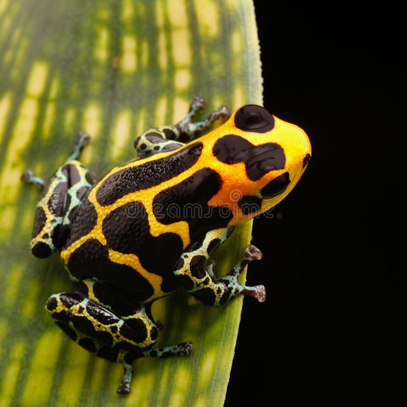 Poison Arrow Frog Amazon Rainforest Yellow Striped Poison Arrow