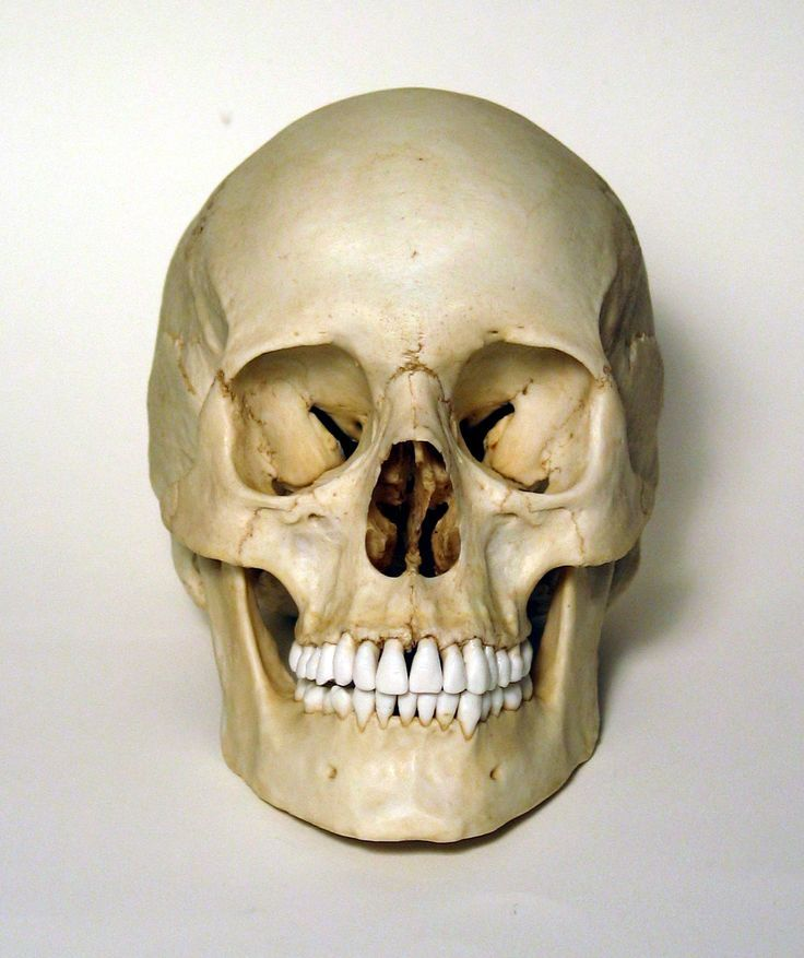 Human Skull Front View Google Search Head In 2018 Pinterest