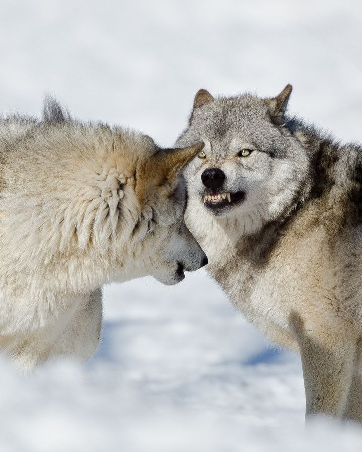 Angry Wolf By Maxime Riendeau 500px ส ตว แฟนพ นธ แท