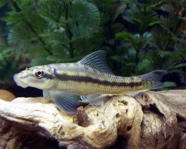 13 Best Algae Eaters For Your Aquarium Keep The Aquarium Clean Tag Best Algae Eaters Aquarium Best Algae Eaters Fo Animal Facts Fish Tropical Fish Aquarium