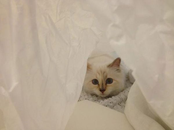 What Breed Is Choupette Lagerfeld Siamese Google Search Cats