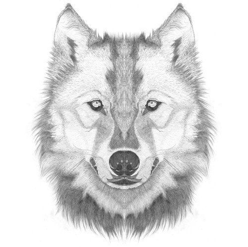 Line Drawing Wolf Face : How to draw a wolf head step by lesson click pic