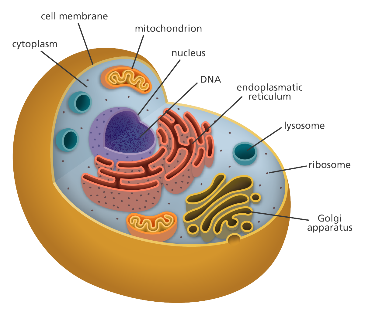 Really love this illustration showing the structures of an animal cell clear simple and well labelled with ribosome golgi apparatus nucleus and the