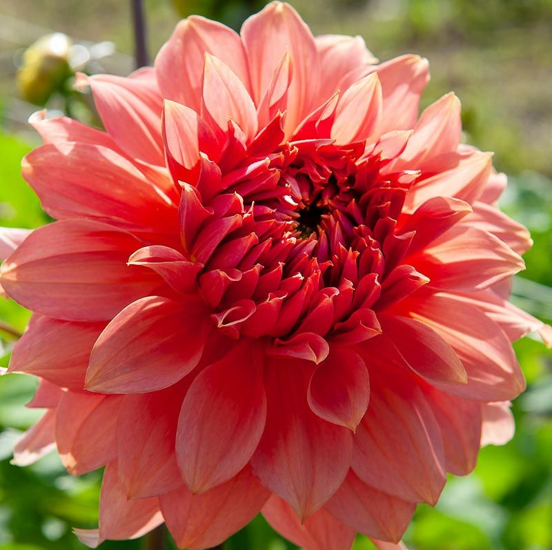 One Of The Largest Dahlias Dahlia Fairway Spur Produces An Abundance Of Rich Peachy Pink Flowers With Wonderful Wavy Petals The In 2020 Flowers Pink Flowers Petals