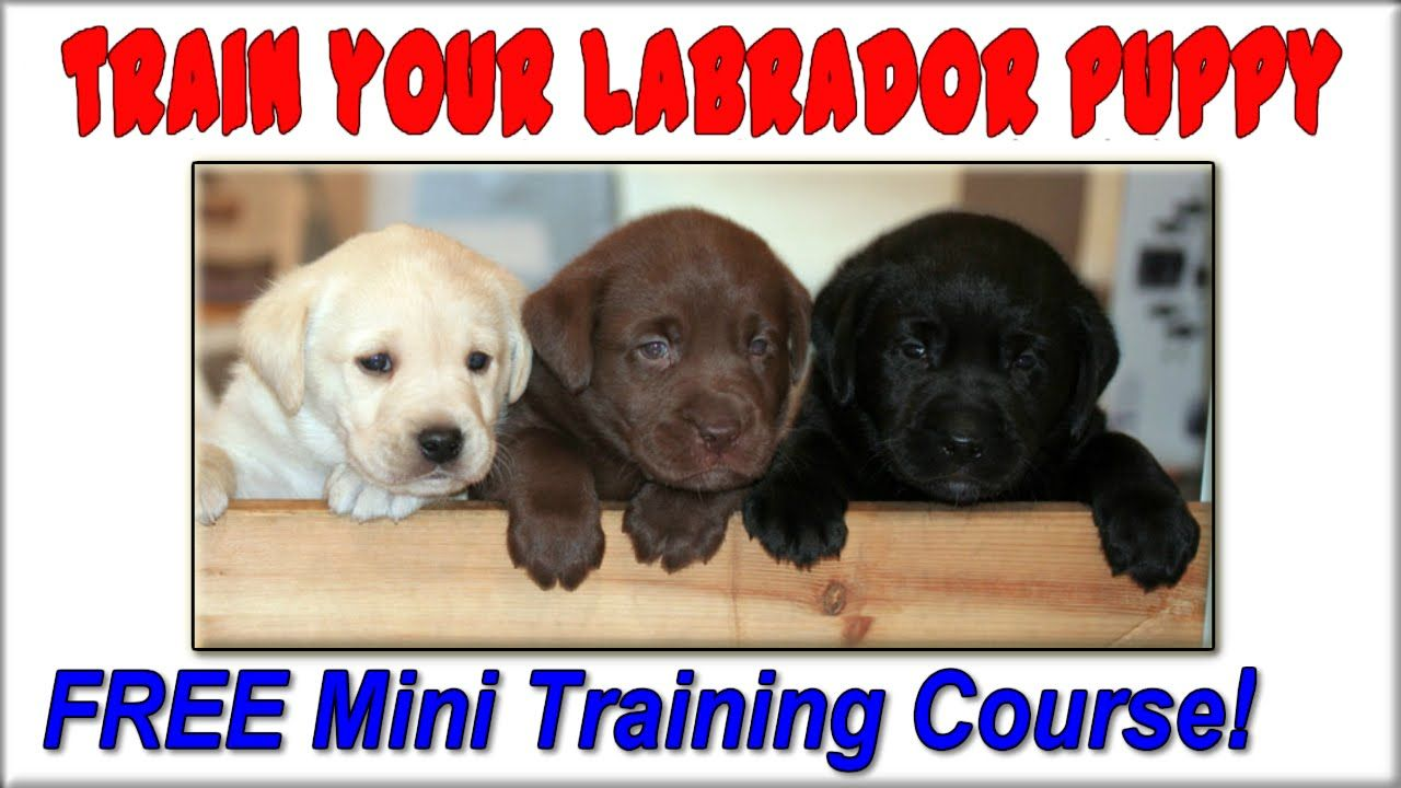 Get This Free Labrador Training Course Today Labrador Puppy Puppy Training Labrador Training