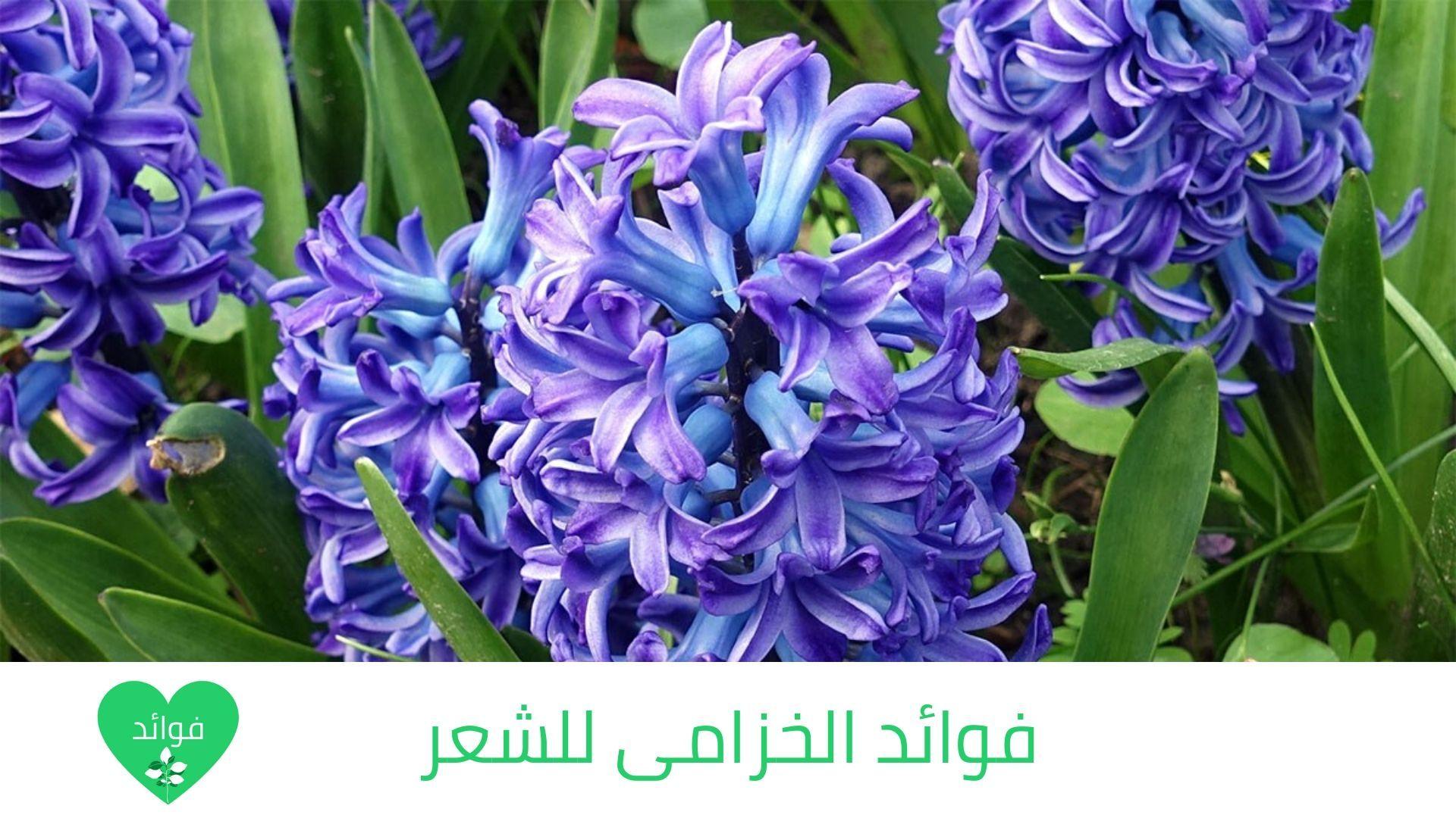 فوائد الخزامى للشعر وفوائده المدهشة لجمال شعرك عند خلطه بالحناء Simple Wedding Bouquets Peach Water Tulips Arrangement