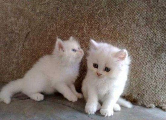 4 Top Persian Cat For Sale Los Angeles Persian Cat White White Kittens For Sale Black And White Kittens