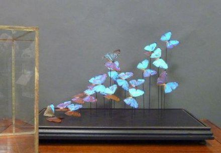 taxidermie papillon