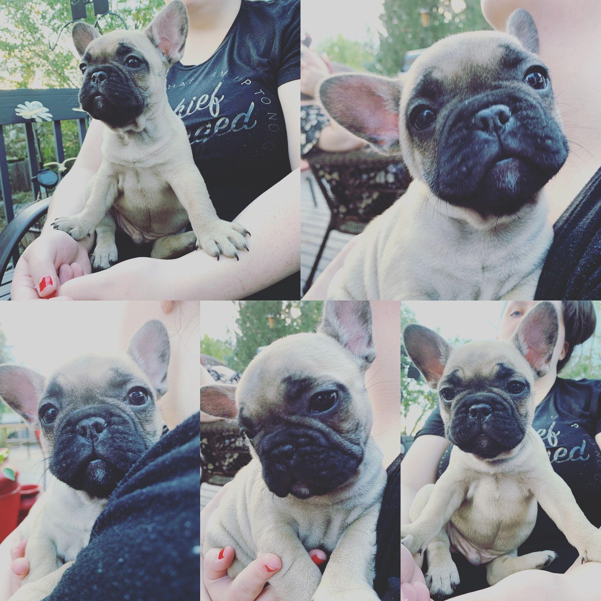 Sweet Little French Bulldog Puppy French Bulldog Bulldog Frenchie Pug
