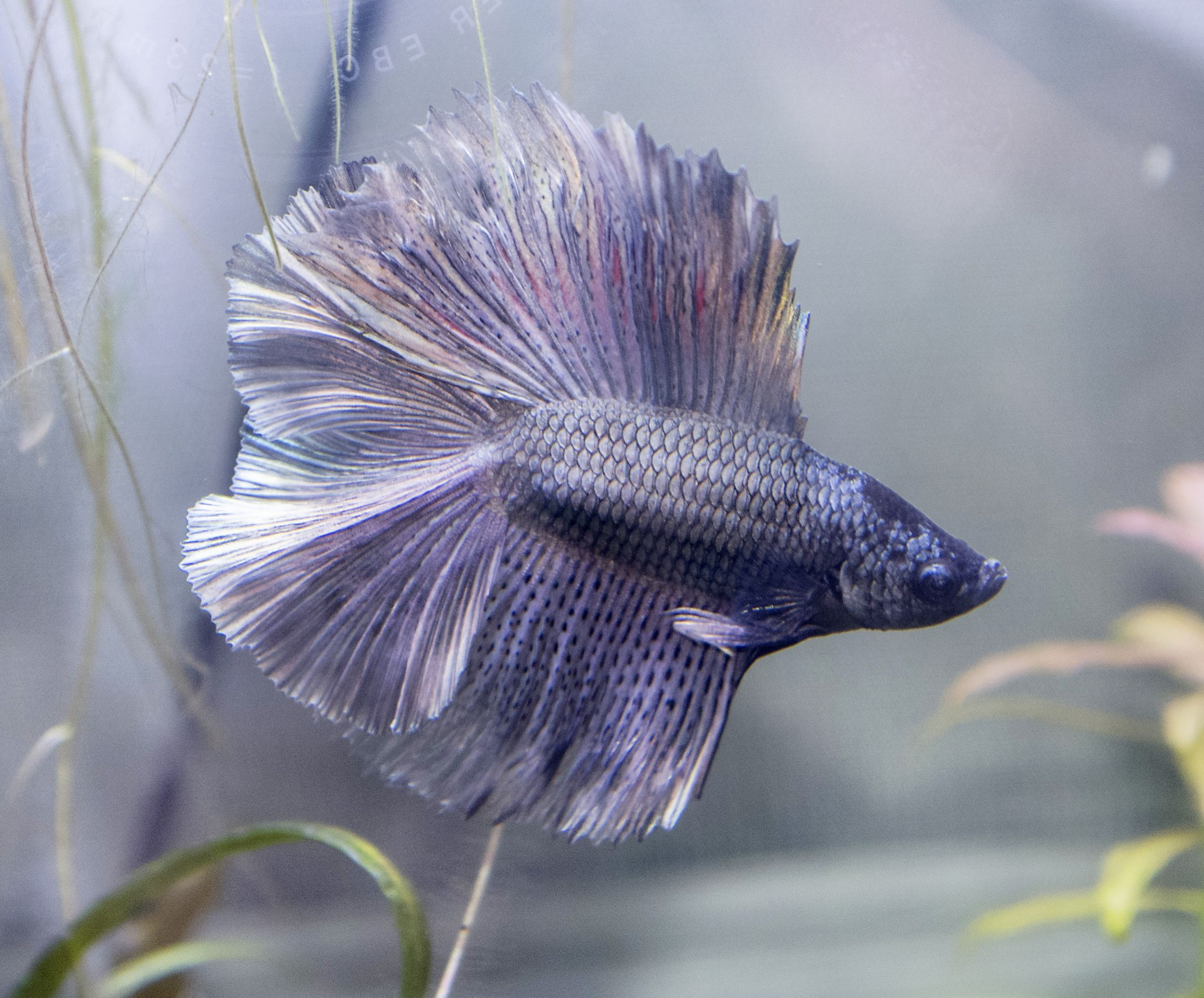 Siamese Fighting Fish Purple Copper Double Tail Full Moon Betta Splendens Betta Fish Betta Siamese Fighting Fish