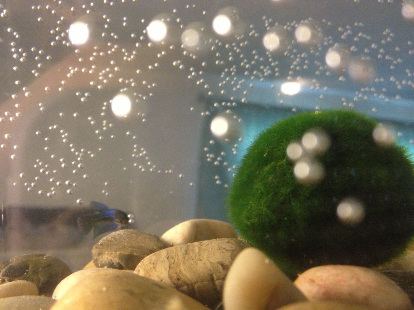 My new tank baby betta fish with marimo moss ball for Baby betta fish