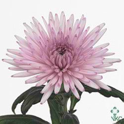Chrysanthemum Blooms Anastasia Pink Are A Spiky Pink Disbudded