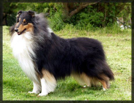 Rough Collie stunner VANM GOOD FELLOW WICANI The home