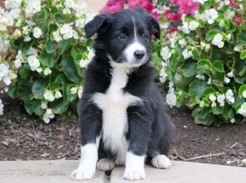 Border Collie Puppy For Sale In Mount Joy Pa Adn 50355 On