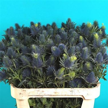 Eryngium Supernova (Sea Holly) is a large multi-headed purple/blue & green decorative thistle. 60cm tall & wholesaled in 10 stem wraps. Supernova is the largest headed eryngium variety.