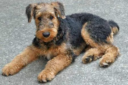 Airedale Puppy Airedale Terrier Puppies Airedale Terrier