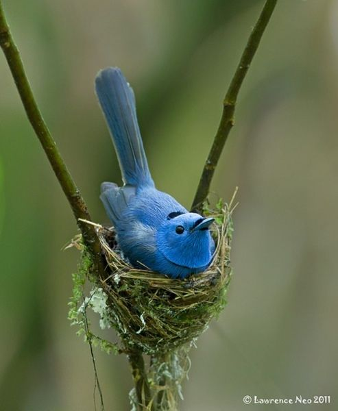 Black-naped Monarch by Lawrence Neo
