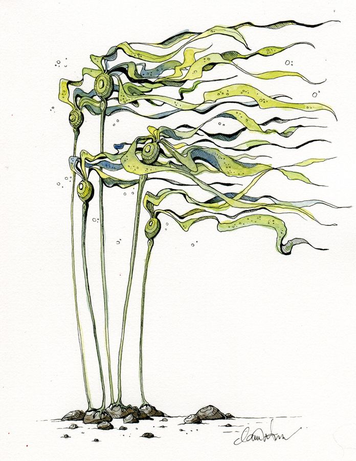 bull kelp by claire watson kkelp pinterest sea art drawing lessons and artwork. Black Bedroom Furniture Sets. Home Design Ideas