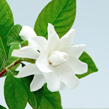 Gardenia white secret admiration and love flowers pinterest gardenia white secret admiration and love mightylinksfo
