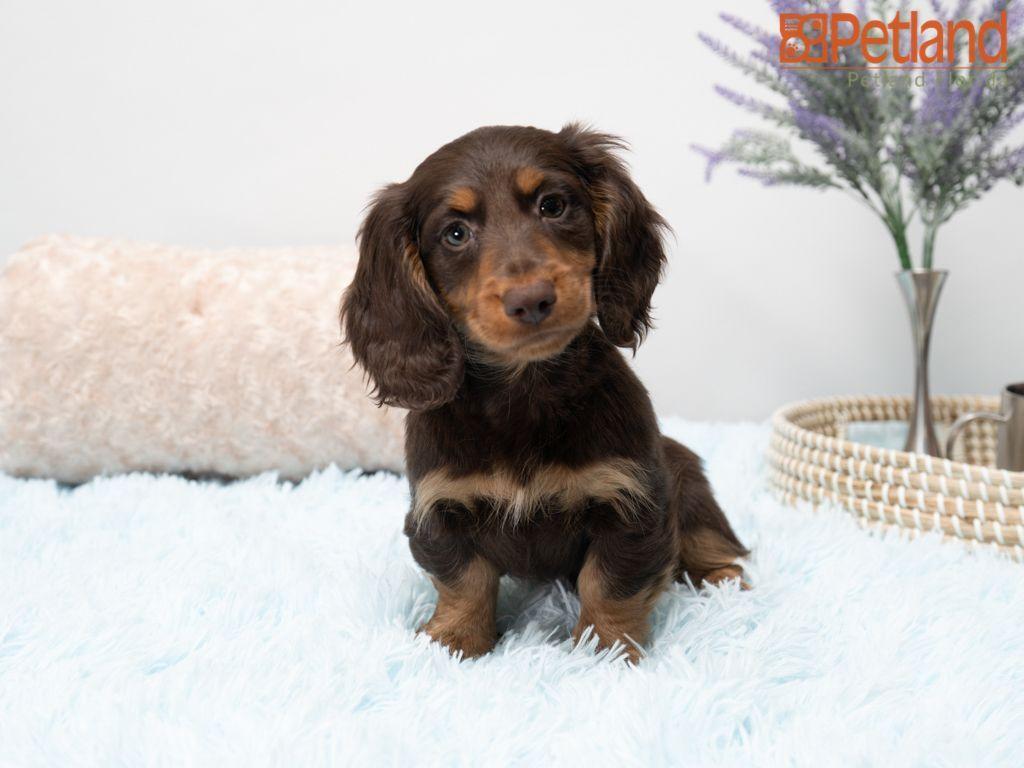 Golden Retriever Puppies For Sale In Panama City Florida Ideas