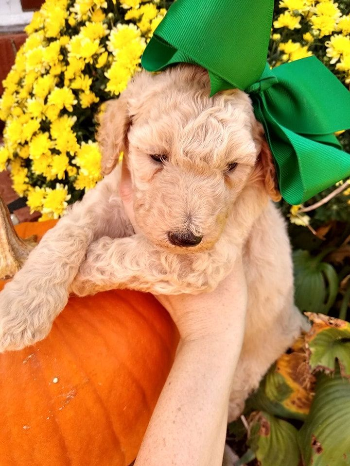 DASHING DOODLES Premier Goldendoodle Breeder Near