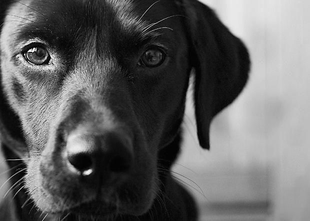 #dogphotography #Labradors. #Day. Its a Lab Thing - All Labradors. All Day.