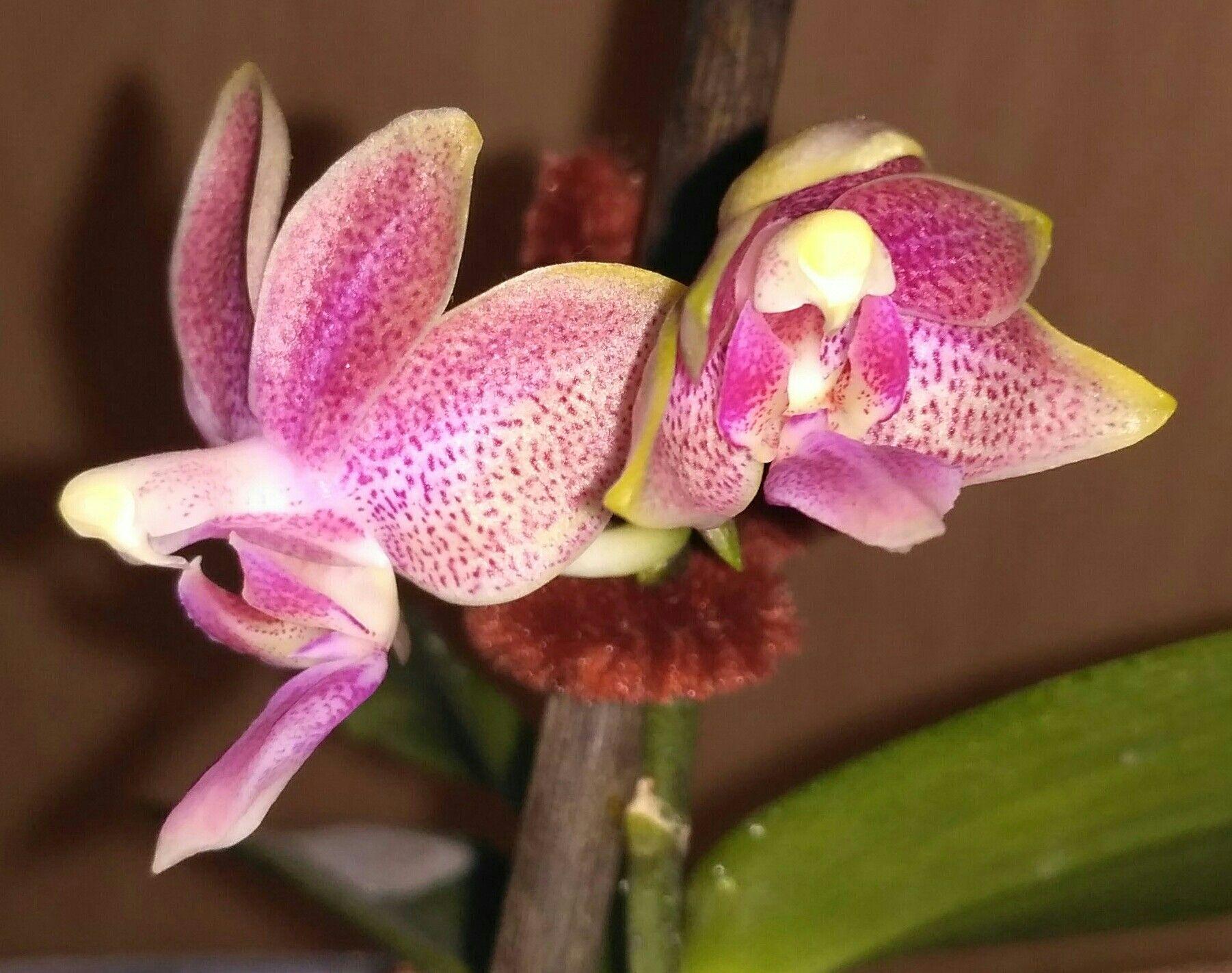 Blue Orchid Phalaenopsis: Myth or Reality 16