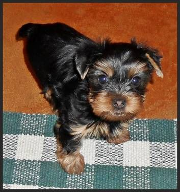 Female Toy Yorkie Toy yorkie, Yorkie, Dogs and puppies